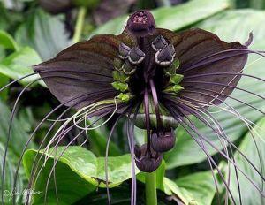 orchidea pipistrello