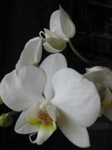 orchidea_resinup_c